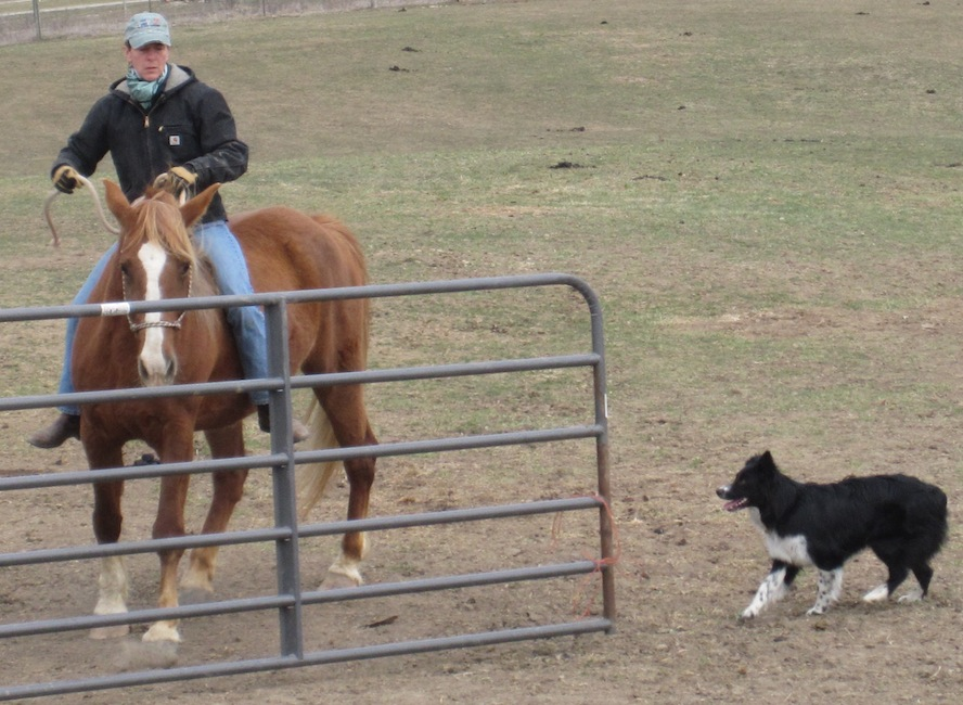 Doing a little gate work with Shea while Kip learns to how hang out and relax. Not easy for an Aussie!