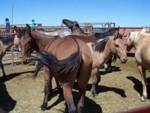 Mule rump