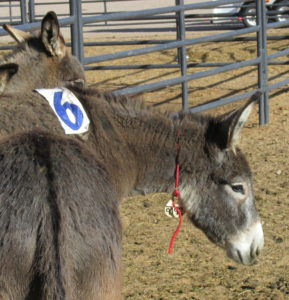 Burro number 9192, now known as Wallace