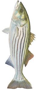 stripedBass