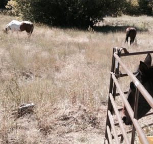 Top mares, Brooke and Jodi, stay close to their penned herd mates.